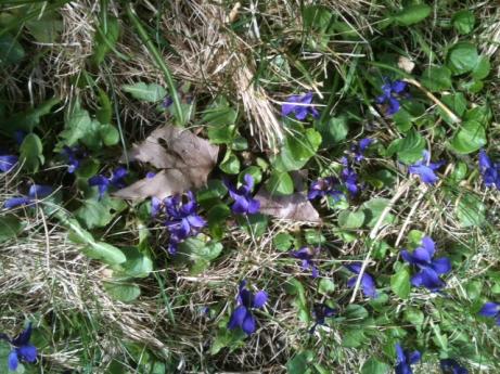 violets 5