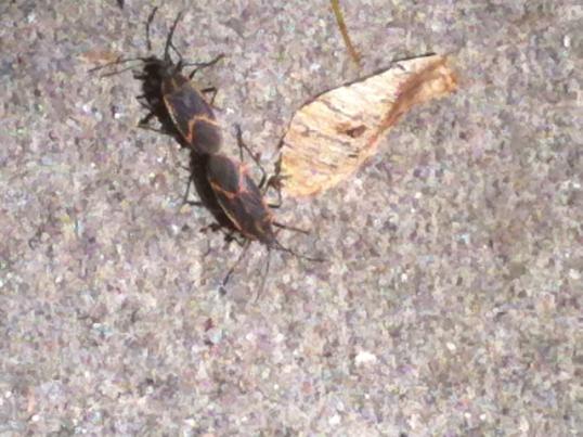 x-bugs