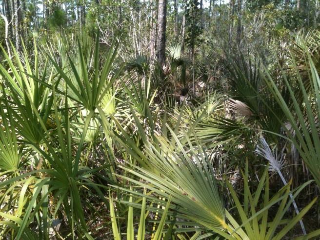 everglades palmetto