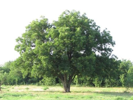 pecan-tree-1
