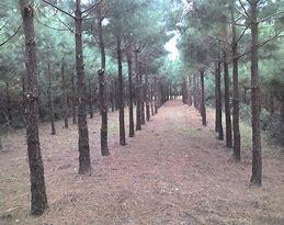 pine line 2